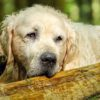 Needed: 10,000 dogs for the biggest ever study on maturing in canines